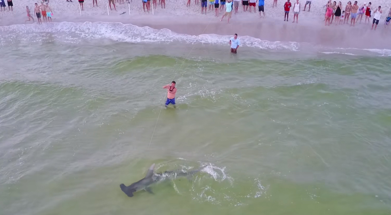 Massive Hammerhead Shark Caught – Panama City Beach  July 4th Weekend –